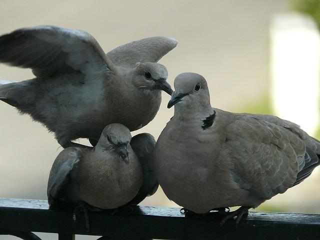 tři holubi