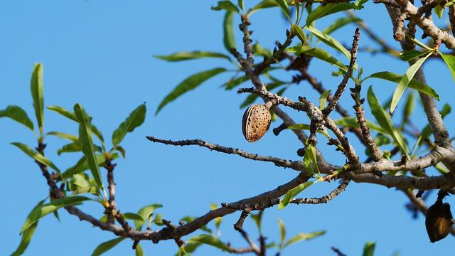 Plod mandle na stromě